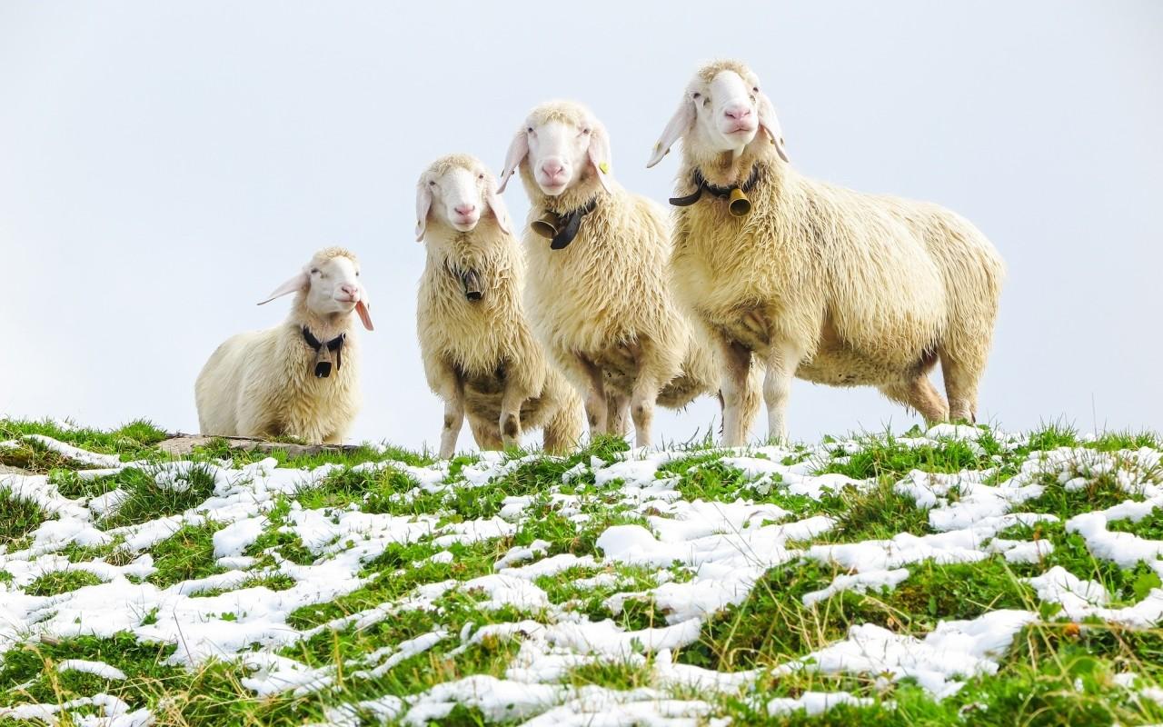 Schafskälte – Was Steckt Hinter Der Alten Bauernregel?